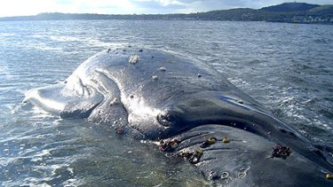 The juvenile whale that was stranded in Albany.