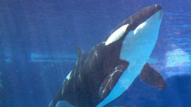 A killer whale and her calf in a file picture.