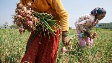 Workers harvest onions near Chandwad, Maharashtra.