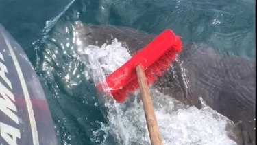 Dan Hoey used a garden broom to fend off the shark.
