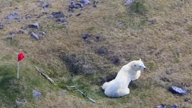 A long way from home, the polar bear sits in a field in Iceland.