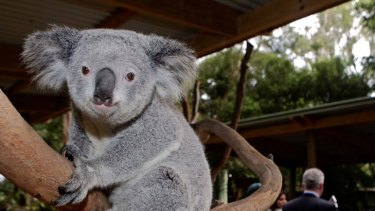 Listed as vulnerable to extinction ... Australia's iconic koalas.