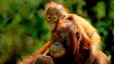 Orangutans are some of the likely beneficiaries of the use of surveillance drones.