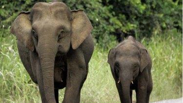 Two pygmy elephants.