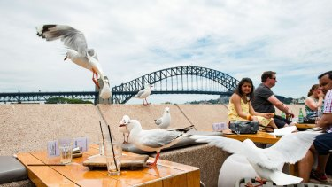 Seagulls pester patrons at Circular Quay. The birds' aggression has prompted calls for a cull.
