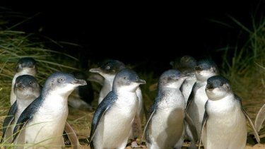 A senior employee of the Phillip Island penguin parade has been jailed.
