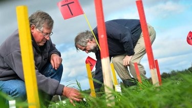 Victorian Department of Primary Industries scientists John Brown (left) and Glenn Fitzgerald inspect wheat trials at their elevated-carbon research plot at Horsham.