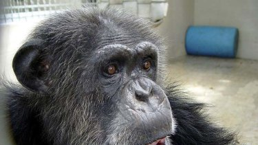Controversy: the chimpanzee that died in a Florida primate sanctuary.
