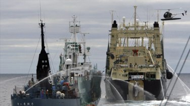 Japanese factory whaling ship the Nisshin Maru, right, hauls a newly caught minke whale up its slipway while harpoon ship the Yushin Maru No. 2 sails close behind and a Sea Shepherd helicopter flies overhead.