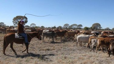 National Party Senator Barnaby Joyce droving a mob of cattle west of Longreach, Queensland.