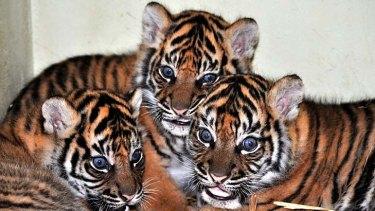 Long awaited births ... Taronga Zoo's three new Sumatran tiger cubs.