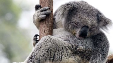 A koala habitat was at the centre of a land deal involving a prominent Labor party donor.