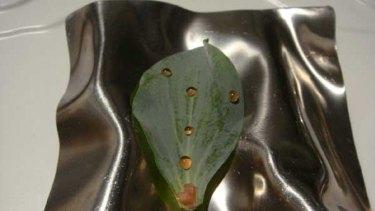 Ferran Adria's oyster leaf with dew of vinegar.