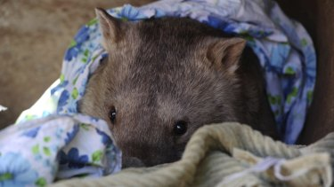 It was a morning to snuggle up with a blanket or two, like Winnie the wombat at the National Zoo last year.