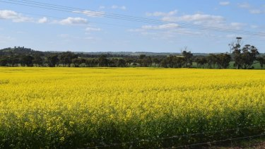 A canola field on Northam-York Road that is attracting attention by tourists for its beauty