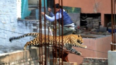 A leopard leaps across an under-construction structure near a furniture market in the Degumpur residential area as a bystander moves out of the way in Meerut on Sunday.