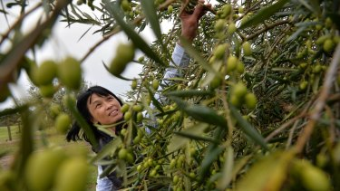 Sui Tham at her Olive oil grove, Cape Schanck Olive Estate which has won gold and best-in-class medals at this year's New York International Olive Oil Competition.