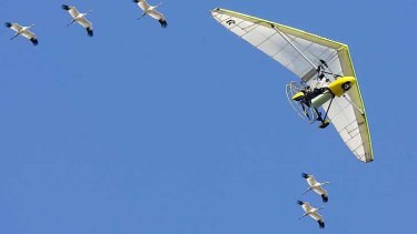 US ultralight pilot Chris Gullikson with Operation Migration, flies over head with whooping cranes in formation in a file picture.