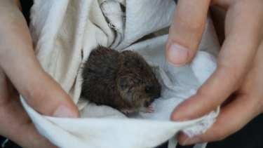 The New Holland mouse found at Wilsons Promontory - the first in more than five years.