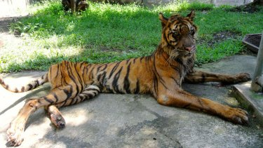 Sumatran tiger Melani is now being cared for in a Bogor safari park.