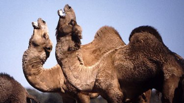 Like a ballet ... bull camels posing, strutting and bluffing.