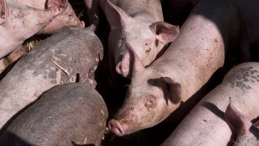 A NSW piggery becomes the first to generate carbon credits.