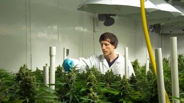 The head grower at British Columbia facility Broken Coast Cannabis where legal medical grade marijuana is grown hydroponically.