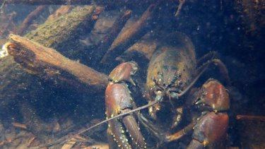 The Tasmanian freshwater crayfish, which can weigh more than 5kg and grow to more than 80cm long is the largest known freshwater invertebrate in the world. The Lapoinya forest is one of its few remaining homes.