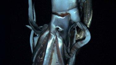 Up close ... the 8-metre squid.