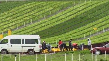 Labourers at Covino's Longford farm.