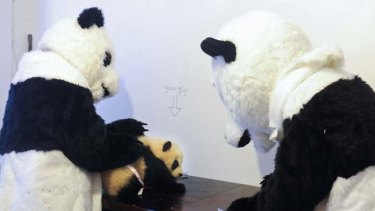 A four-month-old panda  is examined before it is released into the wild by researchers who dressed up as  giant pandas