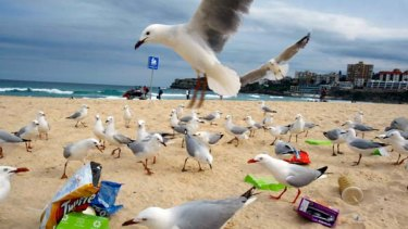 The rubbish capital of Australia... seagulls pick among items of litter scattered on Bondi Beach.