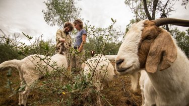 Jordan Scott (left) from the Mount Annan gardens and Elisabeth Larsen from Herds for Hire with a mob of South African boer goats eating African olives.