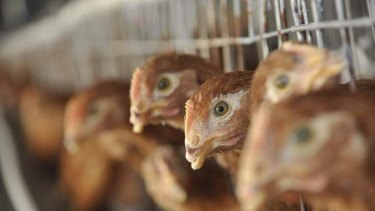 'Do we really care more about chickens than Bangledeshis?'