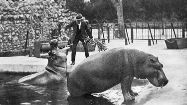 A keeper feeds a hippopotamus in 1913.
