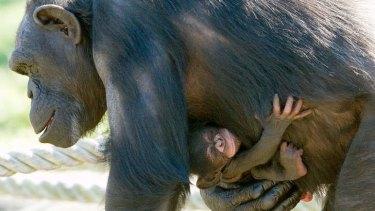 Endangered: Kuma with her newborn at Taronga Zoo.