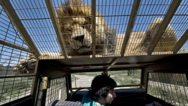 A lion lies on the cage for a tourist at the Safari Lion Zoo in Chile.