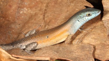 The orange-flanked rainbow skink (Carlia rubigo) runs through central and eastern Queensland, in quite dry open forested areas.