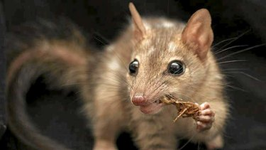 The northern quoll is kicking the cane toad off the dinner menu.