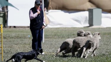 Davina Campbell from Victoria watches as her dog Glamorgan Flash chases the sheep out of the race during the National Sheep Dog Trials at the Hall.
