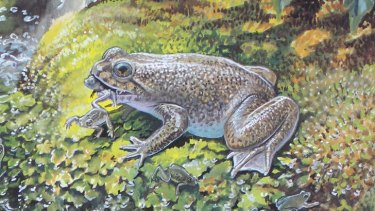 Hopped off … a gastric-brooding frog, currently extinct. <i>Illustration by Peter Schouten.</i>