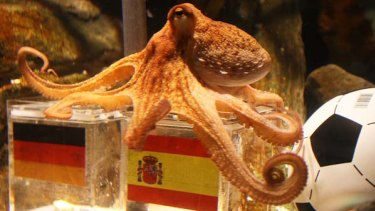 """""""Psychic"""" octopus ... Paul has picked Spain to beat Germany."""