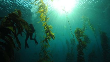 Towering trees facing extinction ... giant kelp, which faces depletion, in waters at Lagoon Bay, south-east Tasmania.