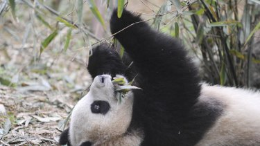 This Chengdu-based panda will soon be moved to France.