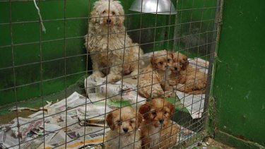 Inside Bert Cooke's puppy farm at Rosedale.