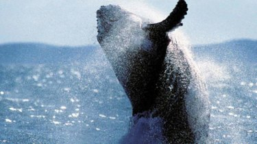 The outcome of a decision at the Hague on Japan's whaling program will shift the politics around the practice.