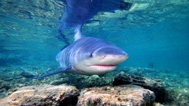 Bull sharks' behaviour baffles scientists.