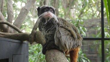 Gomez the emperor tamarin monkey has arrived at Alma Park Zoo.