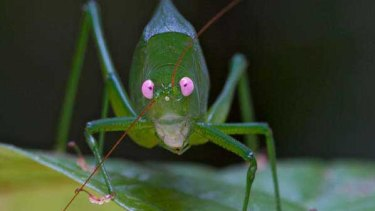 A newly discovered katydid in Papua New Guinea.