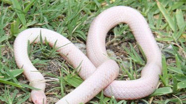 The albino snake discovered on the Gold Coast by a tradesman last week.